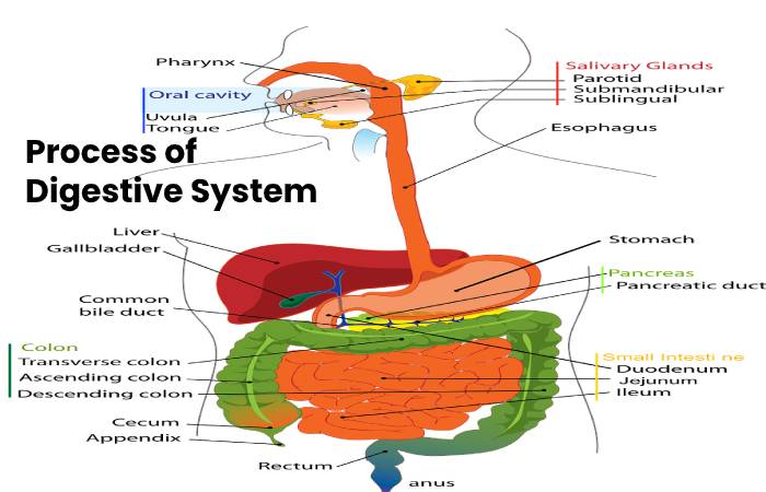 Process of Digestive System