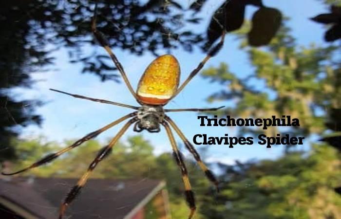 Trichonephila Clavipes Spider