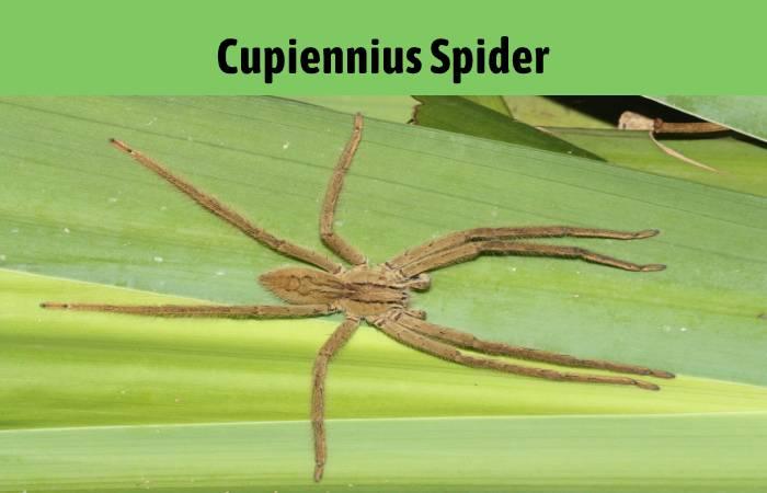 Cupiennius Banana Spider