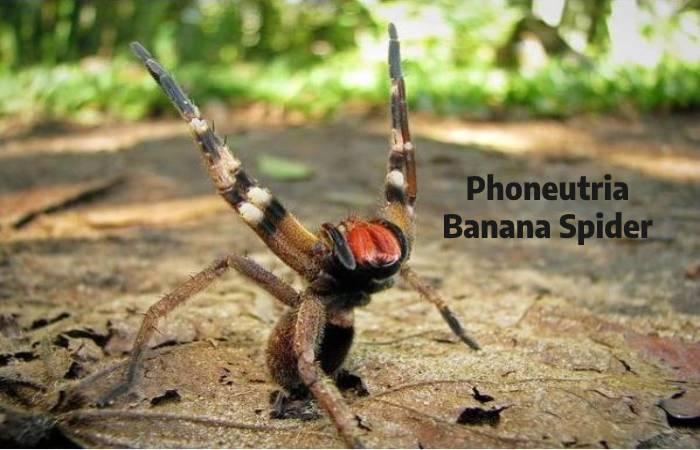 Phoneutria Spider